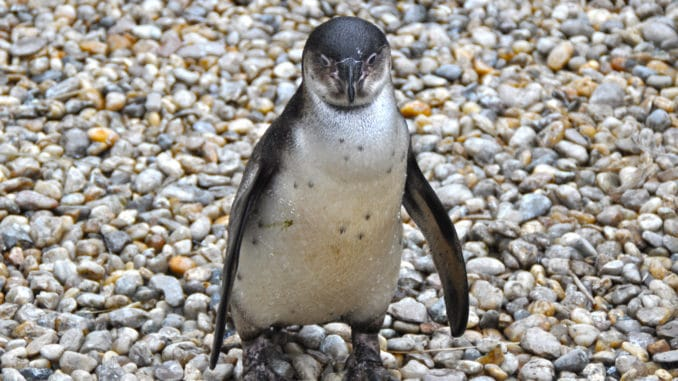 Pinguin im Zoo Pilsen in Tschechien