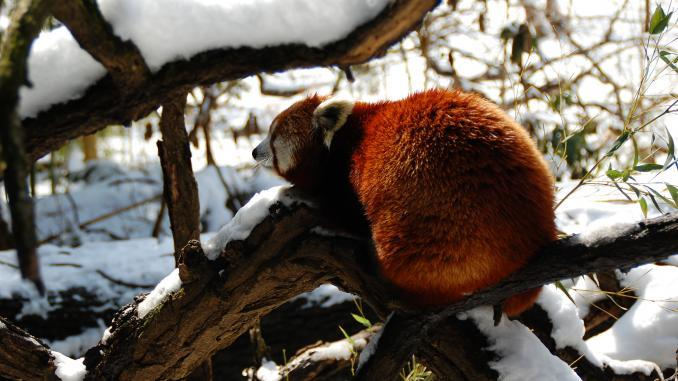 Roter Panda im Bronx Zoo