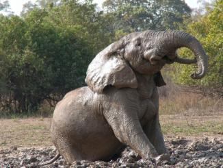 Elefant im Mole Nationalpark in Ghana