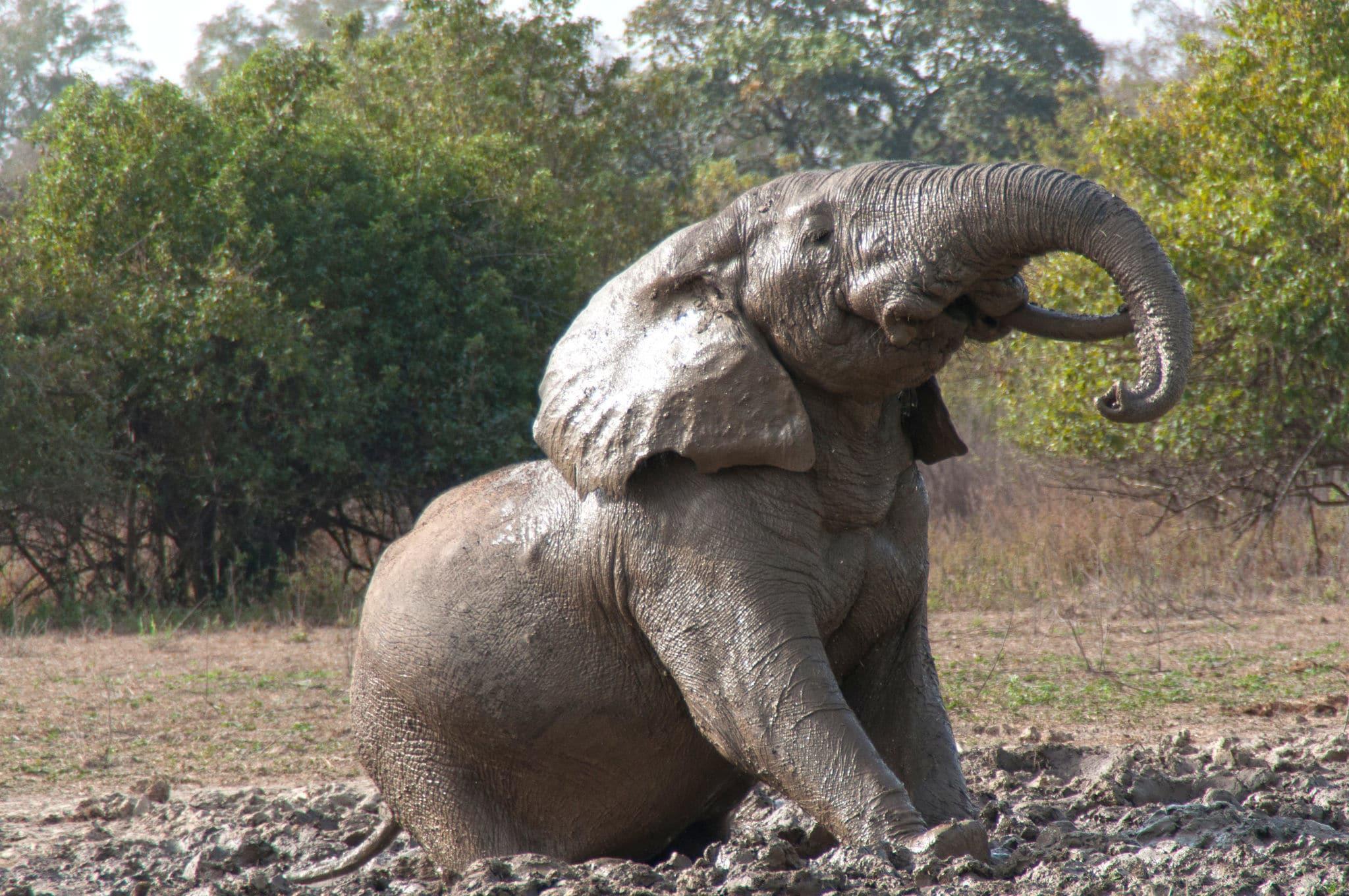 Elefant im Mole Nationalpark in Ghana