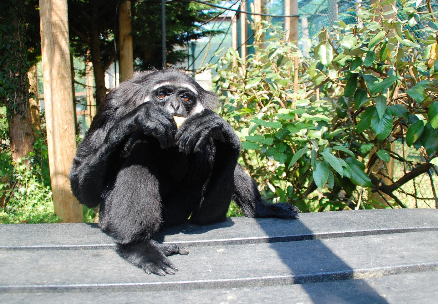 Gibbon in der Monkey World