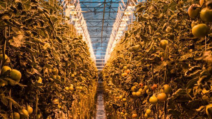 Tomaten aus Island