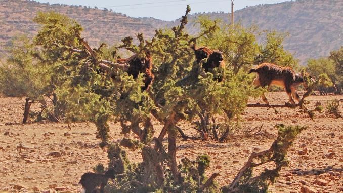 Ziegen auf Baum in Marokko