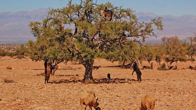 Marokko: Ziegen in der Souss-Ebene